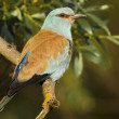 European Blue Roller — Stock Photo