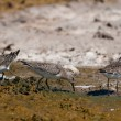 Stock Photo: Curlew Sandpiper (Calidris feruginea)