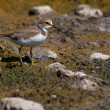 Little Ringed Plover — Stock Photo #13989261