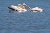 White Pelicans on Water — Stock Photo