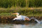 White Pelican — Stock Photo