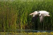 White Pelican in flight — Stock Photo