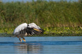 White Pelican Taking off — Stock Photo