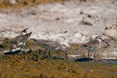 Curlew Sandpiper (Calidris feruginea) — Stock Photo