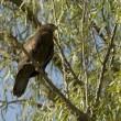Stock Photo: Common Buzzard (Buteo buteo)