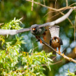 Stock Photo: Red Footed Falcon (Falco vespertinus)