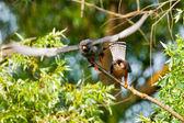 Red Footed Falcon (Falco vespertinus) — Stock Photo