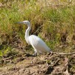 Stock Photo: Little Egret (Egrettgarzetta)