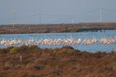 Flamingo Flock In water — Stock Photo