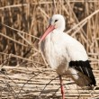 White Stork in reed site — Foto de Stock