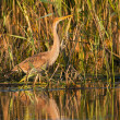 Foto Stock: Purple Heron Juvenile