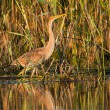 Foto de Stock  : Purple Heron Juvenile