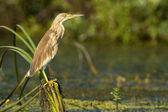 Squacco Heron on reed — Stock Photo