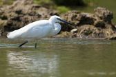 Little Egret in Water — Stock Photo