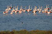 Flamingo Flock — Stock Photo
