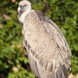 Griffon Vulture on branch — Stock Photo #14093665