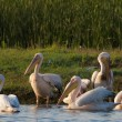 White Pelican — Stock Photo