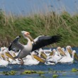 white pelican — Stock Photo #14096057