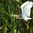 Stock Photo: Squacco Heron