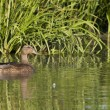 Mallard Duck Female — Stock Photo #14097247