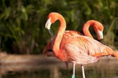 Two Chilean Flamingos — Stock Photo