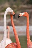 Tre flamingos argumentera — Stockfoto