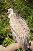 Griffon Vulture on a branch — Stock Photo