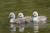Mute swan chicks — Stock Photo
