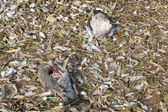 Wood Pigeons Dead — Stock Photo