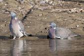 Wood Pigeons Pair — Stock Photo
