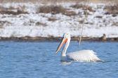 Dalmatin pelikán — Stock fotografie