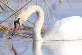 Mute Swan on water — Stock Photo