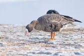 White Fronted Goose — Stock Photo
