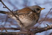 Fieldfare — Stock Photo