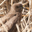 Common Buzzard — Stock Photo #14110909