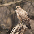 Common Buzzard - Stok fotoraf