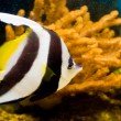 Longfin Bannerfish — Stock Photo