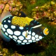 Clown Triggerfish in Aquarium — Stock Photo #14138643