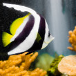 Longfin Bannerfish — Stock Photo #14138698