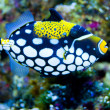 Clown Triggerfish in Aquarium — Stock Photo #14138729