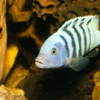 Cichlid Black Stripped in Aquarium — Stock Photo