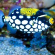 Clown Triggerfish in Aquarium — Stock Photo #14138825