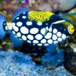 Stock Photo: Clown Triggerfish in Aquarium