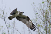 Osprey — Stock Photo