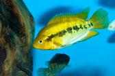 Green Cichlid in Aquarium — Stock Photo