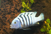 Stripped Cichlid in Aquarium — Stock Photo