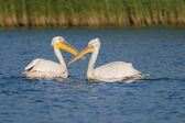 White and Dalmatian Pelican — Stock Photo