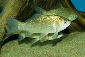 Crucian carp (Carassius gibelio) — Stock Photo