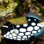 Clown Triggerfish in Aquarium — Stock Photo