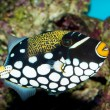 Clown Triggerfish in Aquarium — Stock Photo #14141178